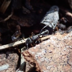 Rhytidoponera sp. (genus) (Rhytidoponera ant) at Mount Painter - 16 Feb 2020 by CathB