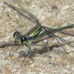 Austroargiolestes icteromelas (Common Flatwing) at Paddys River, ACT - 16 Feb 2020 by Christine