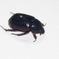 Dasygnathus trituberculatus (Rhinoceros beetle) at Higgins, ACT - 16 Feb 2020 by AlisonMilton