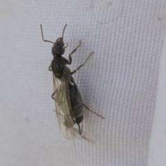 Iridomyrmex sp. (genus) (Ant) at Higgins, ACT - 14 Feb 2020 by AlisonMilton