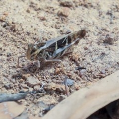 Gastrimargus musicus (Yellow-winged Locust or Grasshopper) at The Pinnacle - 14 Feb 2020 by AlisonMilton