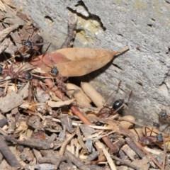 Myrmecia nigriceps (Black-headed bull ant) at Hackett, ACT - 16 Feb 2020 by TimL