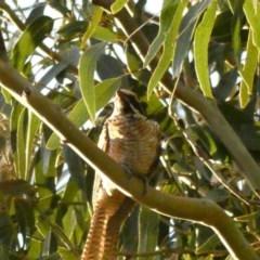 Eudynamys orientalis (Eastern Koel) at Hughes Grassy Woodland - 14 Feb 2020 by Ct1000