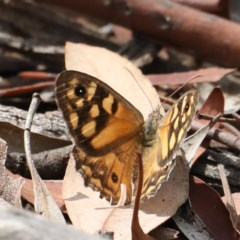 Geitoneura klugii (Marbled Xenica) at Mount Ainslie - 16 Feb 2020 by jbromilow50