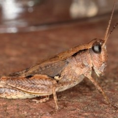 Phaulacridium vittatum (Wingless Grasshopper) at Kambah, ACT - 17 Feb 2020 by Marthijn
