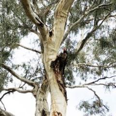Callocephalon fimbriatum (Gang-gang Cockatoo) at Hughes Garran Woodland - 17 Feb 2020 by ruthkerruish