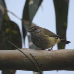 Acanthiza lineata (Striated Thornbill) at Ulladulla, NSW - 17 Feb 2020 by Andrejs