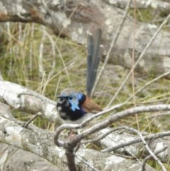 Malurus lamberti (Variegated Fairy-wren) at One Track For All - 17 Feb 2020 by Andrejs