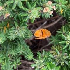 Amegilla (Asaropoda) bombiformis (Teddy Bear Bee) at One Track For All - 17 Feb 2020 by Andrejs