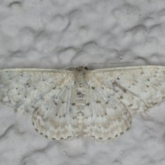 Idaea philocosma (Flecked Wave) at Ainslie, ACT - 17 Feb 2020 by jbromilow50