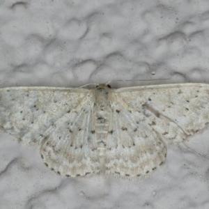 Idaea philocosma at Ainslie, ACT - 17 Feb 2020