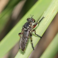 Thereutria amaraca (Spine-legged Robber Fly) at ANBG - 17 Feb 2020 by TimL