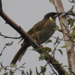 Meliphaga lewinii (Lewin's Honeyeater) at Wingecarribee Local Government Area - 18 Feb 2020 by GlossyGal