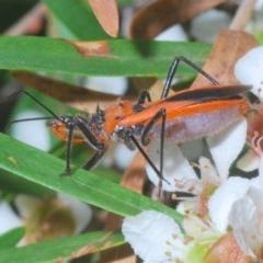 Gminatus australis (Orange Assassin Bug) at ANBG - 15 Feb 2020 by Harrisi