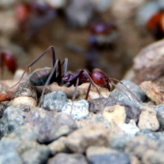 Iridomyrmex purpureus (Meat Ant) at Tharwa Bridge - 18 Feb 2020 by RodDeb