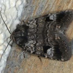 Thoracolopha flexirena at Ainslie, ACT - 16 Feb 2020
