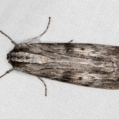 Capusa (genus) (Wedge moth) at Melba, ACT - 6 Dec 2018 by Bron