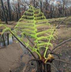 Cyathea australis (Rough tree fern) at - 18 Feb 2020 by Margot