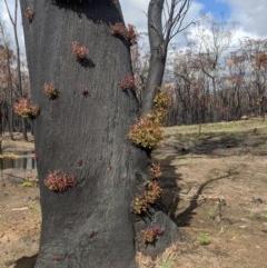 Eucalyptus piperita (TBC) at - 18 Feb 2020 by Margot