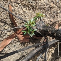 Unidentified Other Shrub (TBC) at - 18 Feb 2020 by Margot