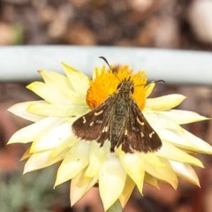 Dispar compacta (Barred skipper) at ANBG - 19 Feb 2020 by Roger