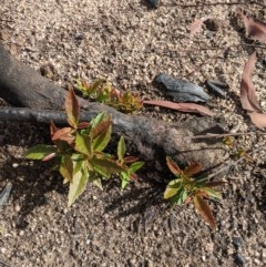 Unidentified Plant (TBC) at - 18 Feb 2020 by Margot