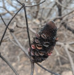 Banksia sp. at - 18 Feb 2020 by Margot