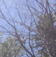 Pteropus poliocephalus (Grey-headed Flying Fox) at Queanbeyan, NSW - 19 Feb 2020 by MPennay