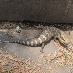 Tiliqua scincoides scincoides (Eastern Blue-tongue) at Queanbeyan, NSW - 3 Jan 2020 by MPennay