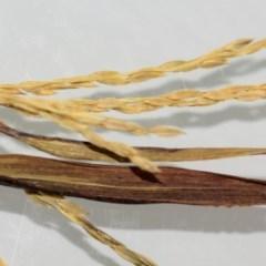 Digitaria ciliaris (Summer Grass) at Coolangatta, NSW - 8 Apr 1995 by Nicholas de Jong