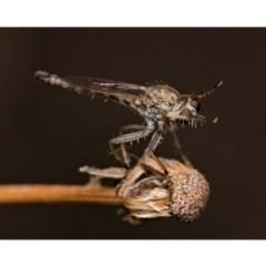 Cerdistus sp. (genus) (Robber fly) at Cavan, NSW - 17 Feb 2020 by kdm