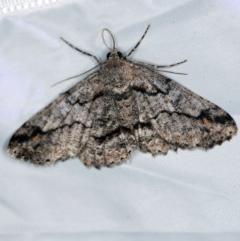Cleora displicata (A Geometrid moth) at Tidbinbilla Nature Reserve - 11 Nov 2018 by ibaird