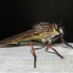Zosteria rosevillensis (A robber fly) at ANBG - 18 Feb 2020 by TimL