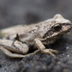 Litoria lesueuri (Lesueur's Tree-frog) at Namadgi National Park - 19 Feb 2020 by Jek