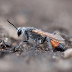 Podalonia tydei (Caterpillar-hunter wasp) at Namadgi National Park - 19 Feb 2020 by Jek