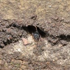 Myrmecia fulvipes at ANBG - 18 Feb 2020