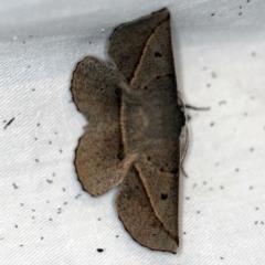 Phallaria ophiusaria (Large Leaf Moth) at Namadgi National Park - 7 Feb 2019 by ibaird
