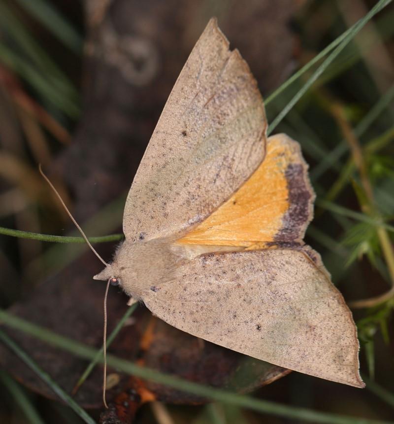 Mnesampela heliochrysa at Namadgi National Park - 1 Apr 2019