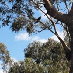 Zanda funereus (Yellow-tailed Black-Cockatoo) at Amaroo, ACT - 20 Feb 2020 by SammaG