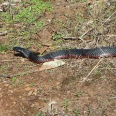 Pseudechis porphyriacus (Red-bellied Black Snake) at The Pinnacle - 19 Feb 2020 by sangio7