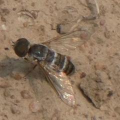 Villa sp. (genus) (Unidentified Villa bee fly) at Yarramundi Grassland  - 9 Dec 2019 by GeoffRobertson