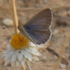 Zizina otis (Common Grass-blue) at Yarramundi Grassland  - 8 Dec 2019 by GeoffRobertson