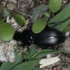 Sarticus sp. (genus) at Ainslie, ACT - 19 Feb 2020