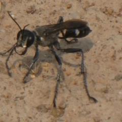 Isodontia sp. (genus) (Unidentified Grass-carrying wasp) at Yarramundi Grassland  - 8 Dec 2019 by GeoffRobertson