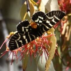 Comocrus behri (Mistletoe day moth) at Mount Ainslie - 18 Feb 2020 by jbromilow50