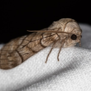 Stibaroma undescribed species at Melba, ACT - 24 Apr 2018