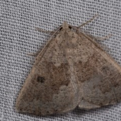 Amelora mesocapna (A Geometer moth) at Paddys River, ACT - 14 Mar 2018 by kasiaaus