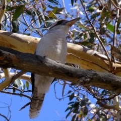 Dacelo novaeguineae (Laughing Kookaburra) at Kama - 20 Feb 2020 by Kurt