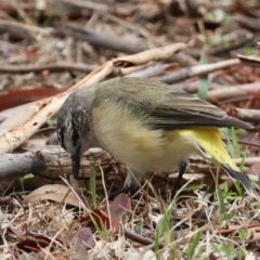 Acanthiza chrysorrhoa (Yellow-rumped Thornbill) at Mount Ainslie - 18 Feb 2020 by jbromilow50