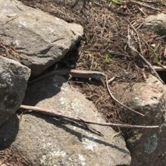Liopholis whitii (White's Skink) at Mittagong, NSW - 20 Feb 2020 by BLSHTwo